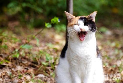 公猫闹猫的表现有哪些?公猫闹猫-成猫饲养